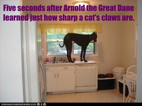 Five seconds after Arnold the Great Dane learned just how sharp a cat's claws are.