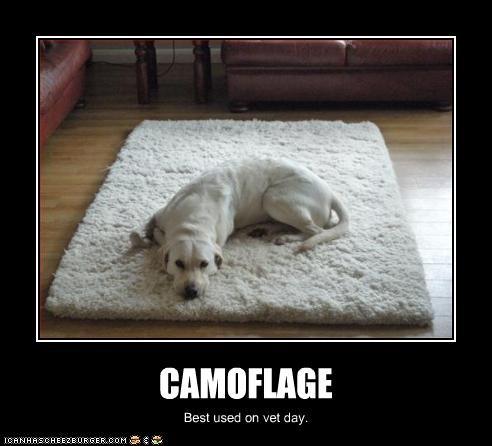 camouflage,carpet,labrador,vet,white