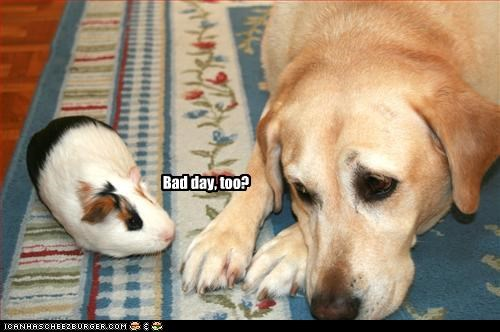 bad day,frown,guinea pig,labrador,Sad