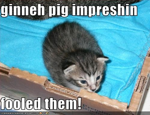 ginneh pig impreshin   fooled them!