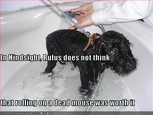 In Hindsight, Rufus does not think that rolling on a dead mouse was worth it