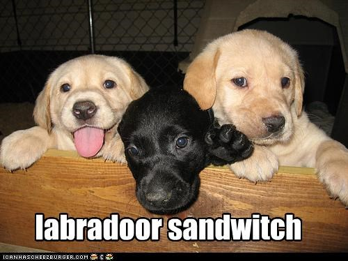 labradoor sandwitch