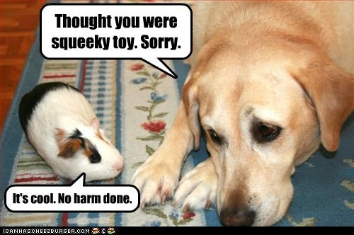 guinea pig,labrador,Sad,sorry,squeaky toy