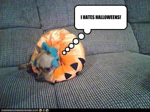 chihuahua,clothing,costume,grumpy,halloween,hate,pumpkins