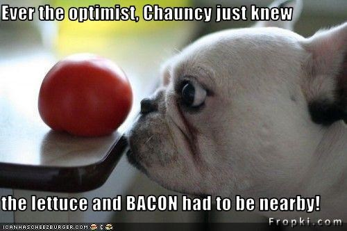 Ever the optimist, Chauncy just knew  the lettuce and BACON had to be nearby!