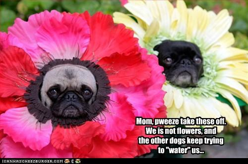 "Mom, pweeze take these off. We is not flowers, and the other dogs keep trying to ""water"" us..."