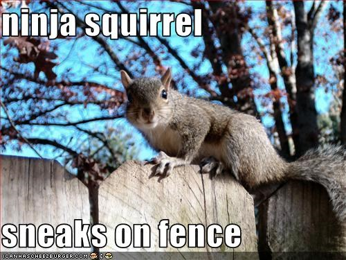 ninja squirrel  sneaks on fence