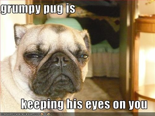 grumpy pug is  keeping his eyes on you