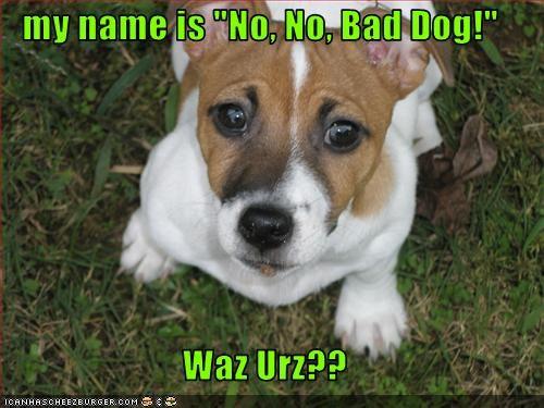 bad dog,jack russel terrier,name