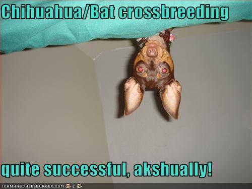 Chihuahua/Bat crossbreeding  quite successful, akshually!