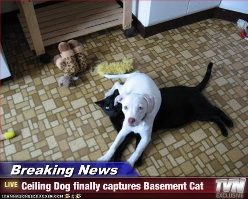 Breaking News - Ceiling Dog finally captures Basement Cat