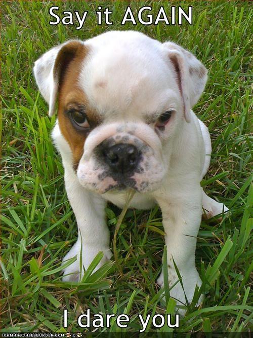 dare,intimidating,pitbull,puppy