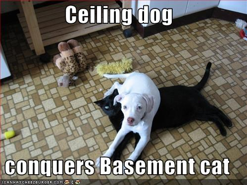 basement cat,cat,ceiling dog,friends,friendship,pit bull,pitbull