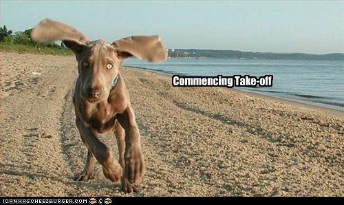 beach,ears,fly,run,take off,weimaraner