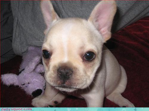 French Bulldog Sophie