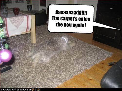 Daaaaaaadd!!!!  The carpet's eaten the dog again!