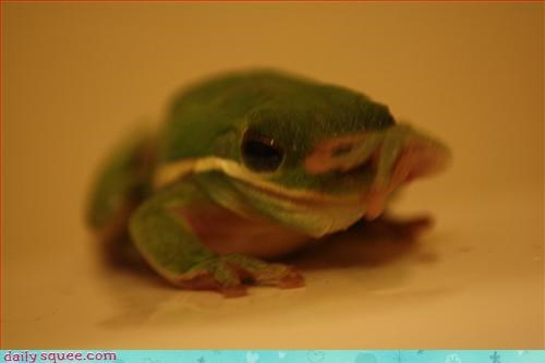 facepalm,frog,tree frog