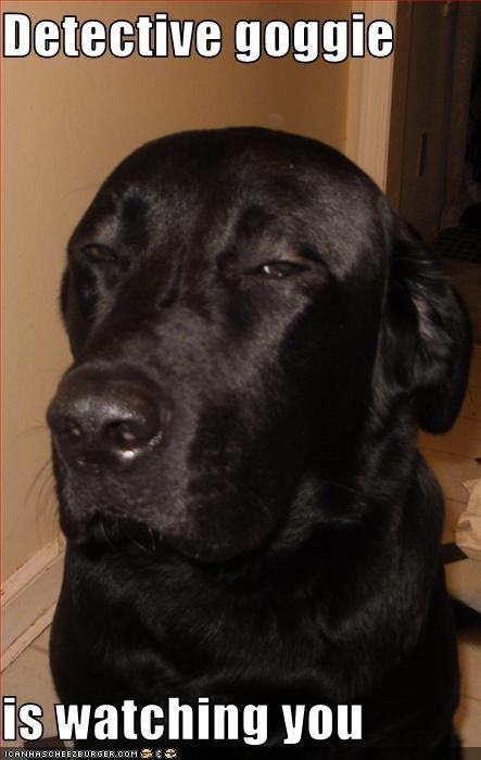 detect,eyes,labrador,suspicious,watching