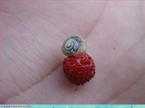 strawberry snails forever