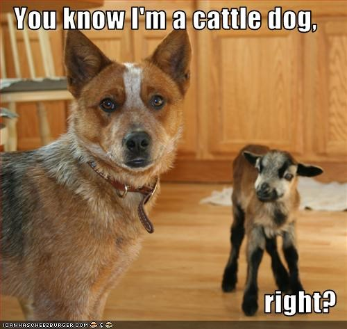 You know I'm a cattle dog,  right?