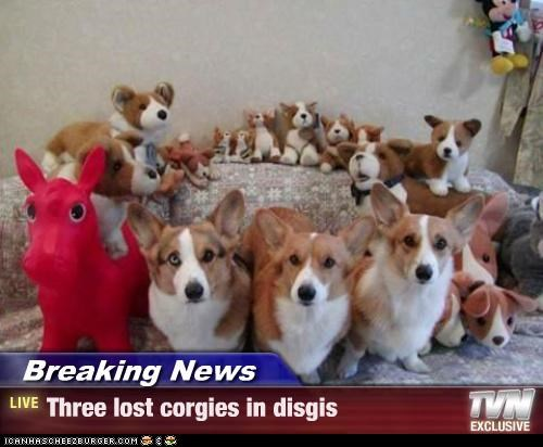 Breaking News - Three lost corgies in disgis
