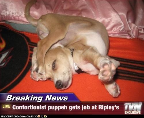 Breaking News - Contortionist puppeh gets job at Ripley's