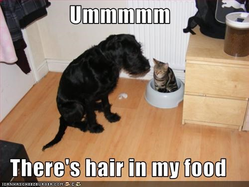 bowl,cat,food,giant schnauzer,hair