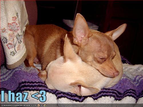 3,chihuahua,cuddling,cute,heart,i has,love,sweet