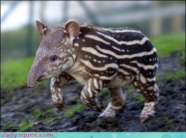 Pokémon,tapir,what is it