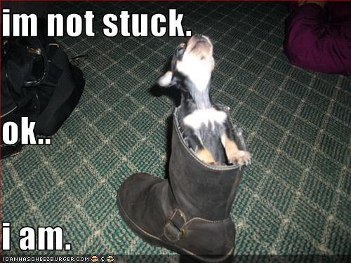 boot,chihuahua,denial,stuck