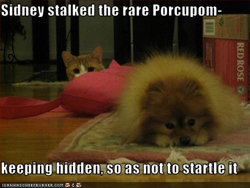 Sidney stalked the rare Porcupom-   keeping hidden, so as not to startle it