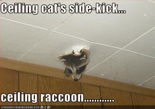 Ceiling cat's side-kick...  ceiling raccoon............