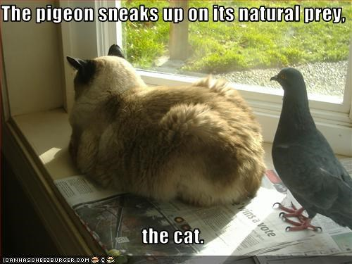 The pigeon sneaks up on its natural prey,  the cat.