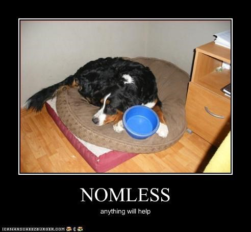 australian shepherd,bed,begging,bowl,noms
