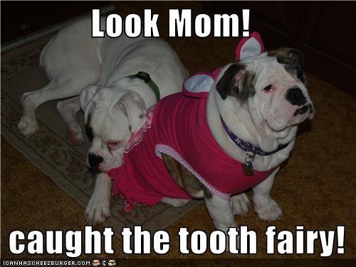 british bulldog,caught,costume,dress,tooth fairy