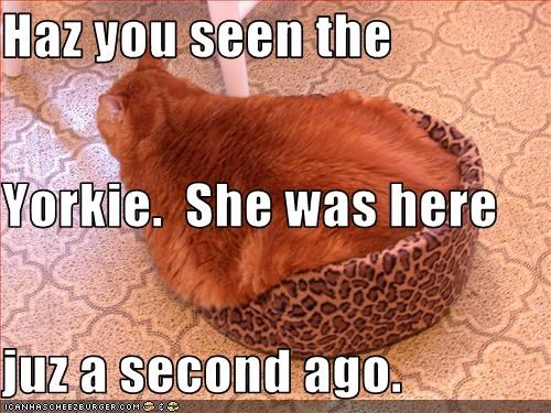 Haz you seen the  Yorkie.  She was here juz a second ago.