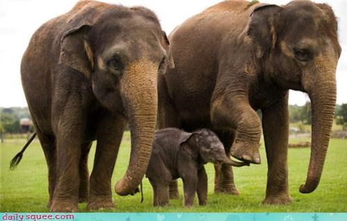 baby,elephant,tapir