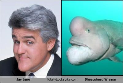 Jay Leno Totally Looks Like Sheepshead Wrasse