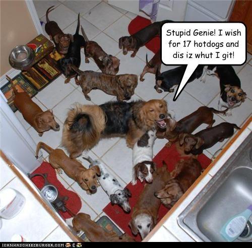 dachshund,genie,golden retriever mix,Hall of Fame,kitchen,mixed breed,wish