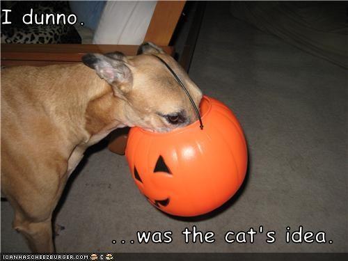 halloween,jack o lanterns,mixed breed,pumpkins,stuck