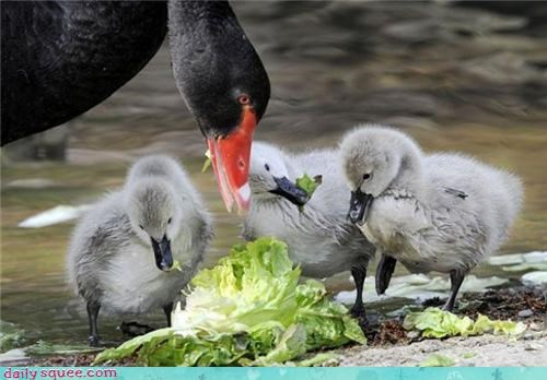Lettuce Lunch for The Gosling Clan