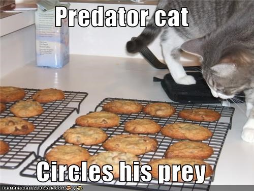 Predator cat  Circles his prey