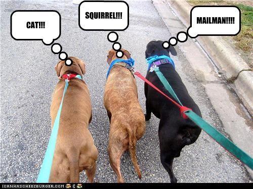 cat squirrel,chase,leash,mailman,walk,whatbreed