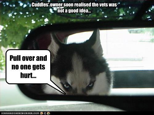 bad idea,car,driving,glaring,husky,mirror,threatening,vet