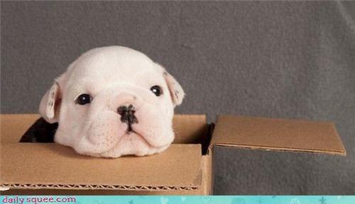 A Boxer Puppy I Presume?