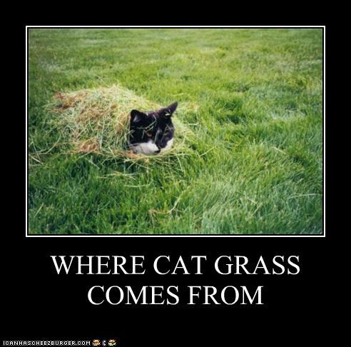 WHERE CAT GRASS COMES FROM