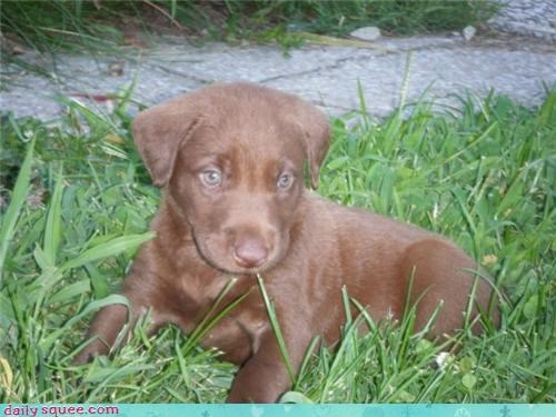 Milk Chocolate Lab, Perfect for Smores Hugs