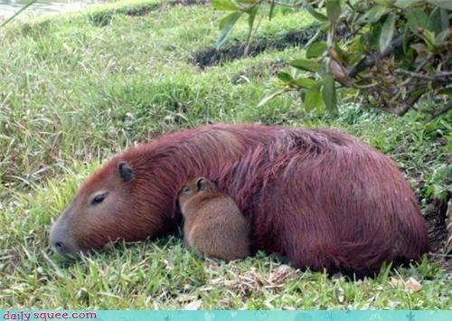 Capybara Baby!!!