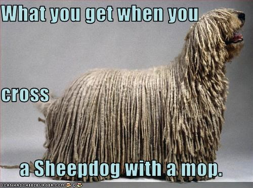 What you get when you cross a Sheepdog with a mop.