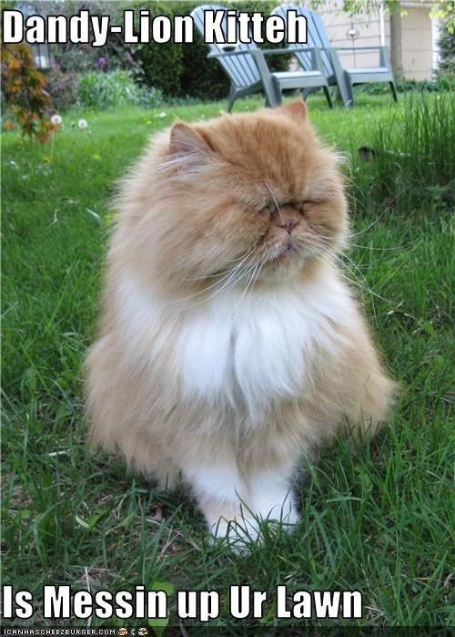 Dandy-Lion Kitteh  Is Messin up Ur Lawn